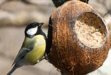 A Great Tit feeding Pic: Rex/Shutterstock