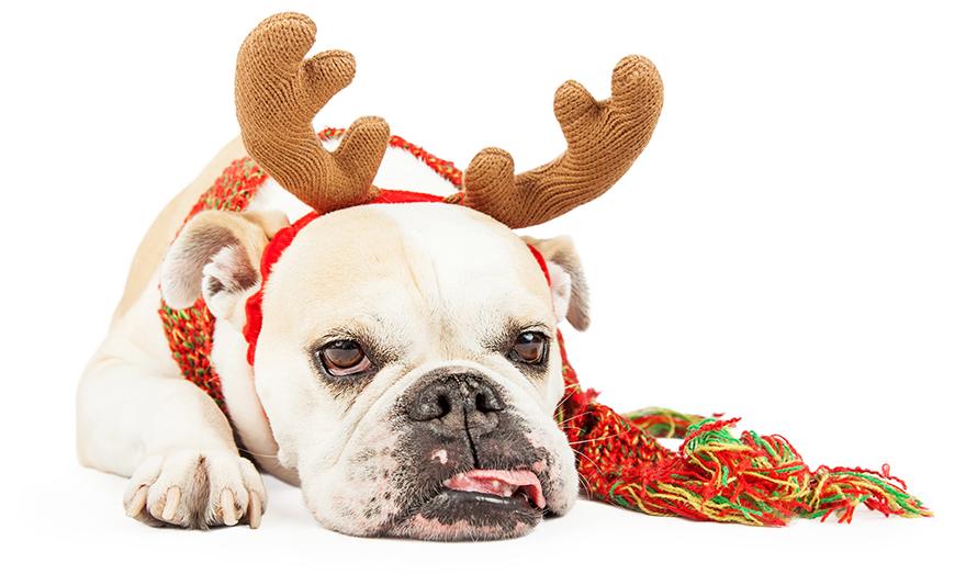 Cute bulldog t Christmas Pic: Rex/Shutterstock