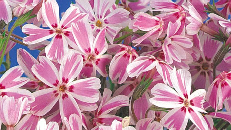 Cluster of white-edged candy pink flowers