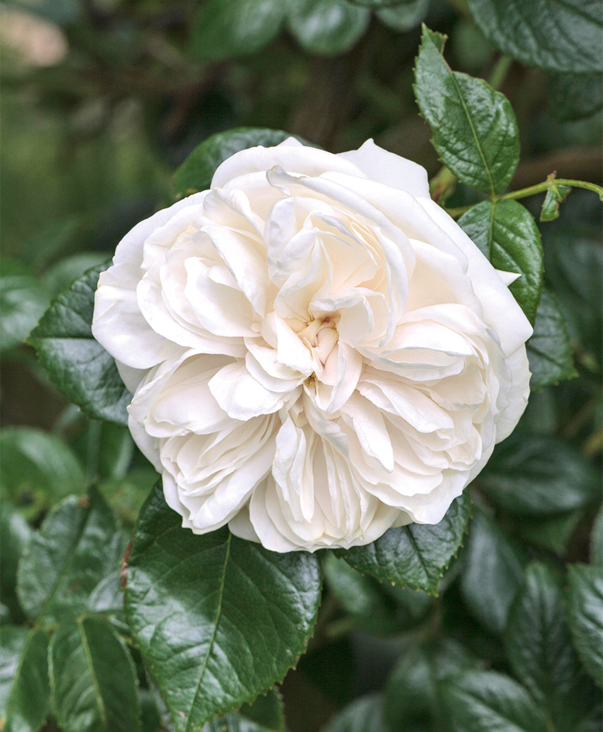 Old-fashioned ruffled white rose against dark green leaves