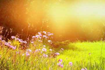 Pink wild flowers, green grass and hazy golden light