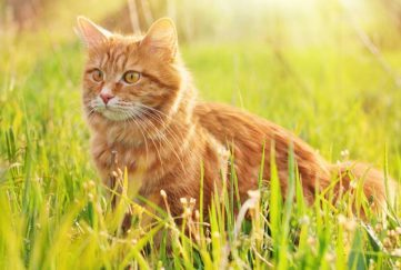 Alert ginger cat in green grass in Summer