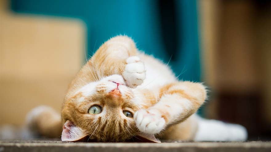 Playful ginger cat rolls on the floor, looking at camera upside down