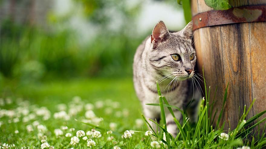 Tabby cat rubbing against wooden barrel standing in grass and daisies