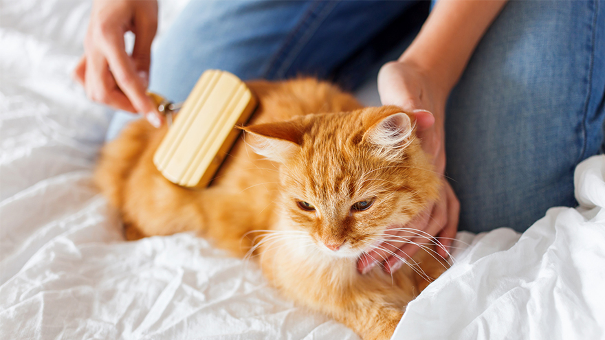 Woman combs a dozing cat's fur. Ginger cat's head lies on woman's hand.