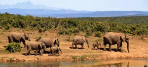 Herd of elephants walking by river