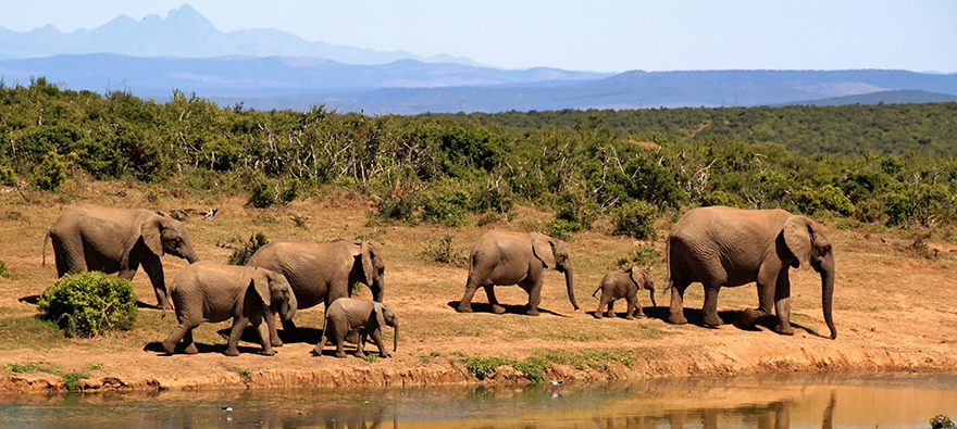 Herd of elephants walking by river