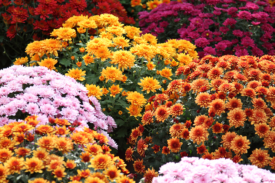 Chrysanthemum add instant autumn colour Pic: Rex/Shutterstock
