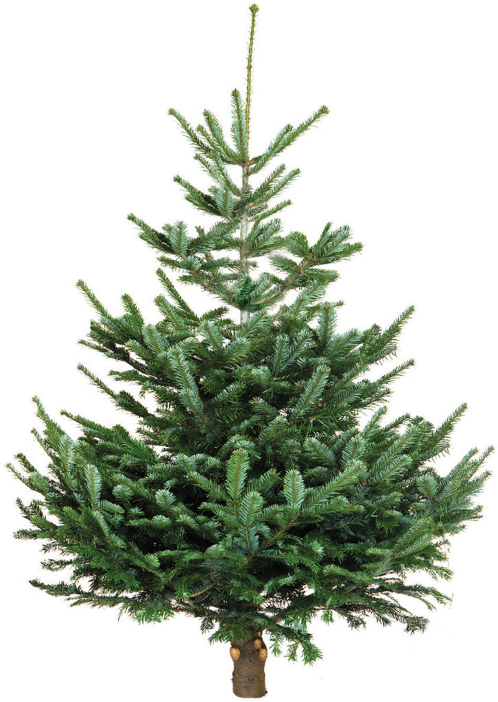 107 Traditional Nordman Fir Tree