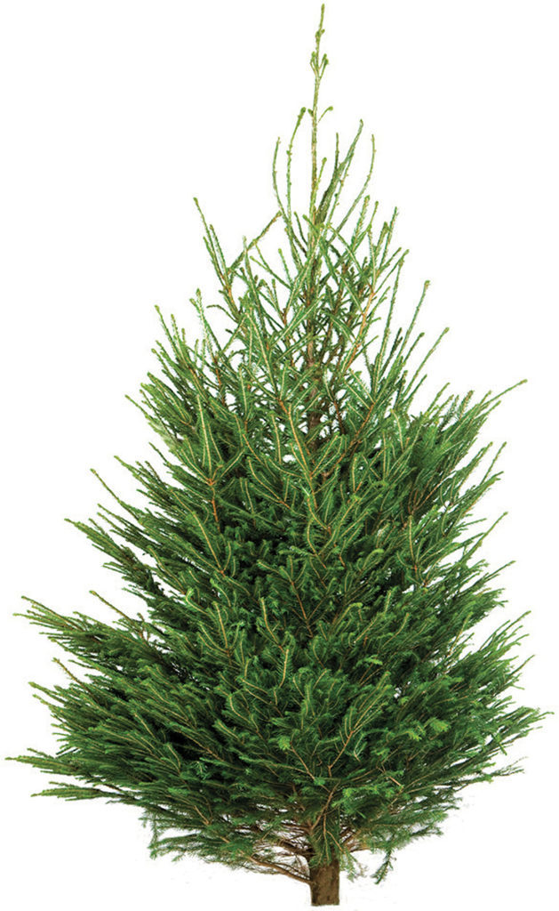 Traditional Norway Spruce Tree