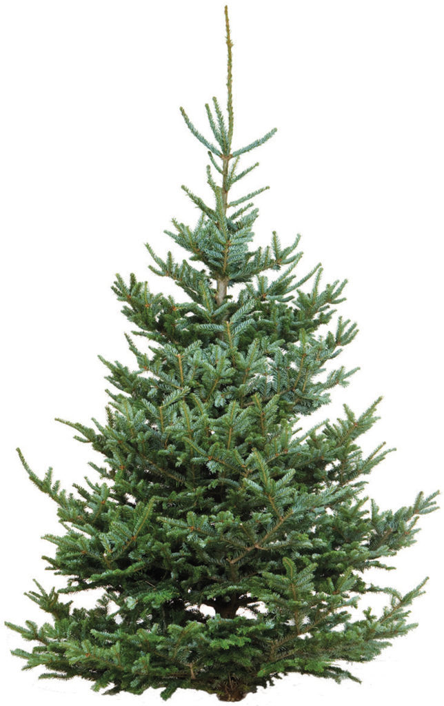 Traditional Fraser Fir Tree