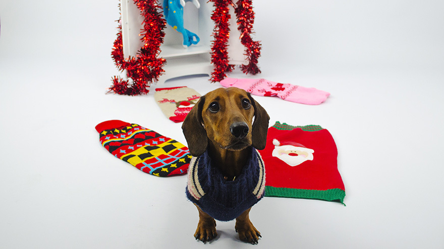 Small dog in a Christmas outfit