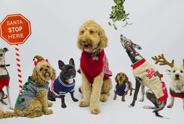 A group of dogs wearing Christmas jumpers