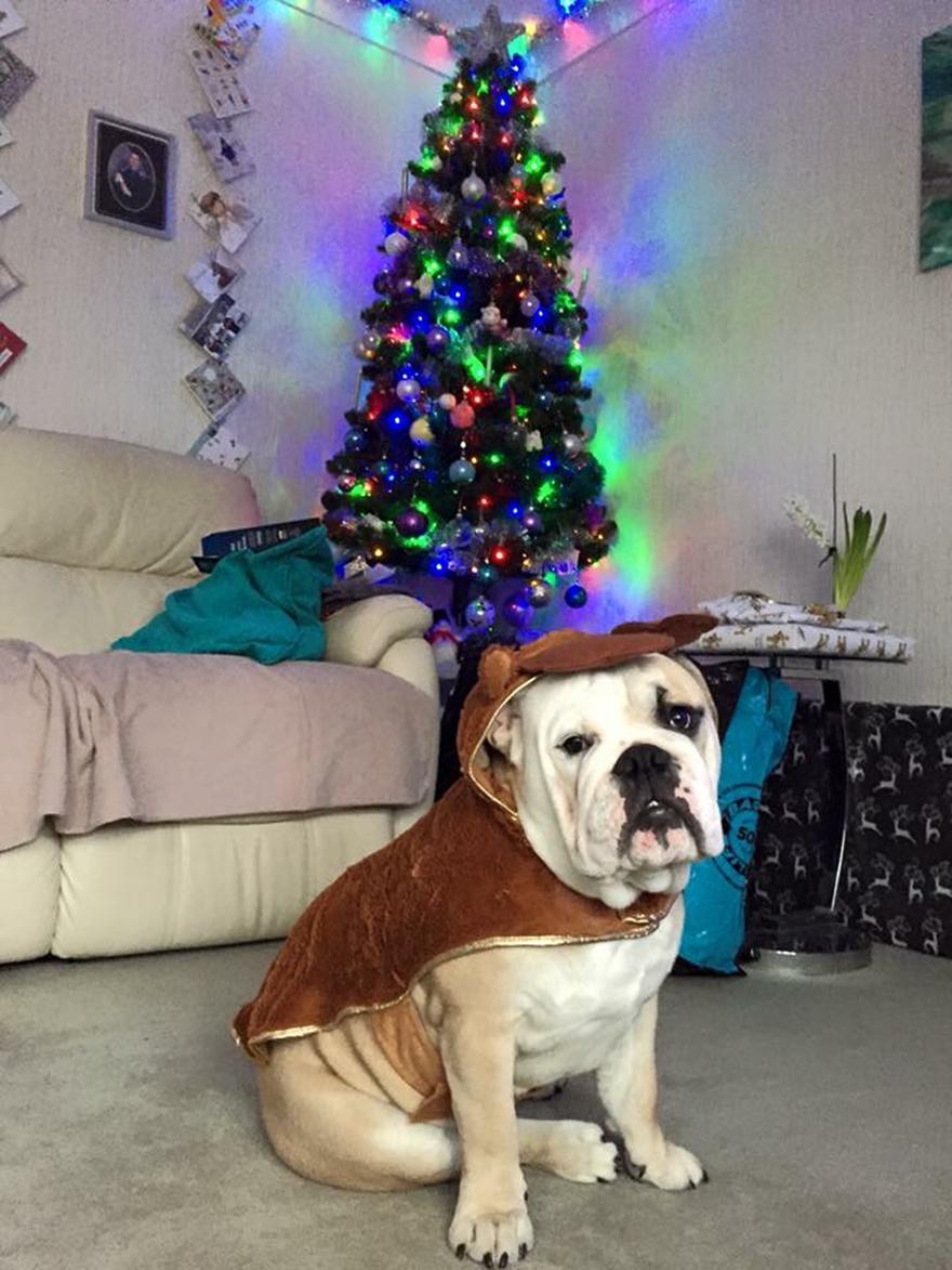 Pit bull dog in jumper