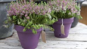 Very Verdure lavender in purple pots