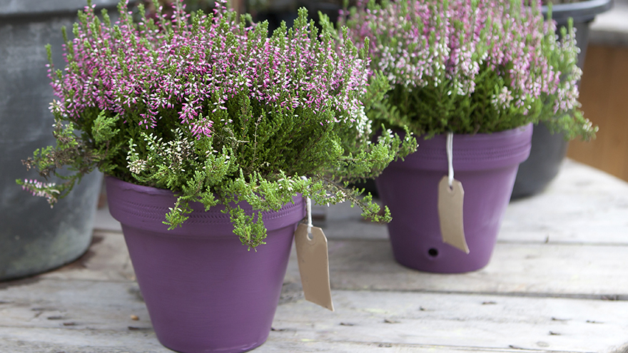 Very Verdure lavender in purple pots