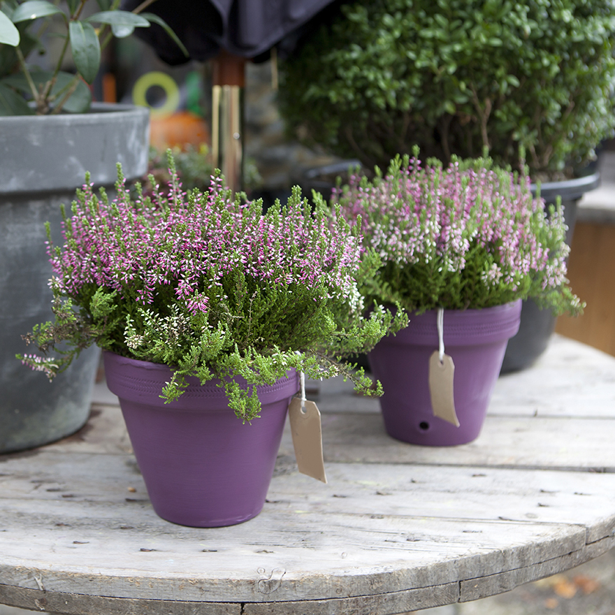 Lavender plants in purple pots