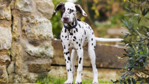 Dalmatian puppy standing in a garden