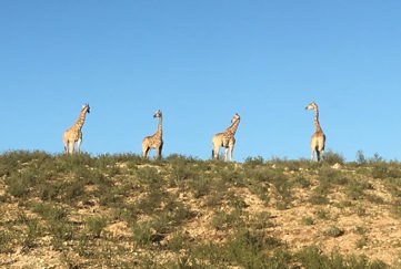 4 Giraffes on the Kalahari sand dunes