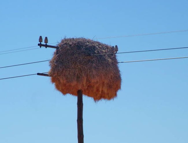 sociable weaver birds nest