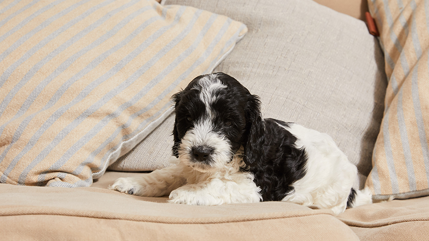 Black and white spaniel puppy lying among cushions on a sofa