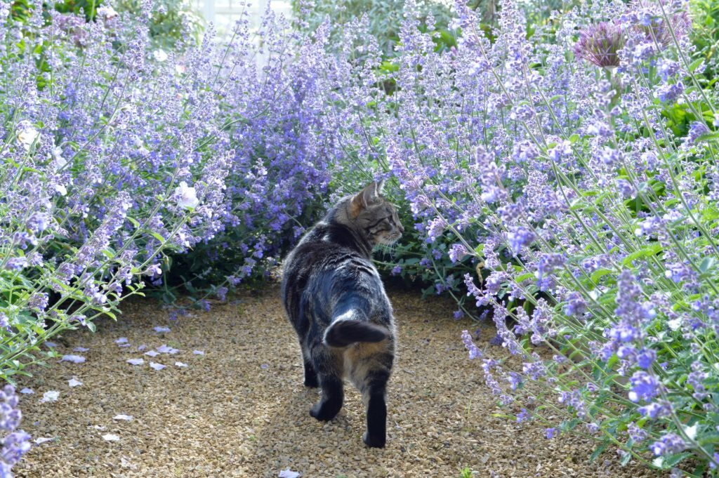 Cat walking in catmint