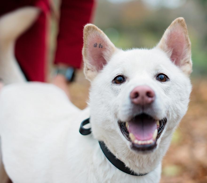 A white, happy dog