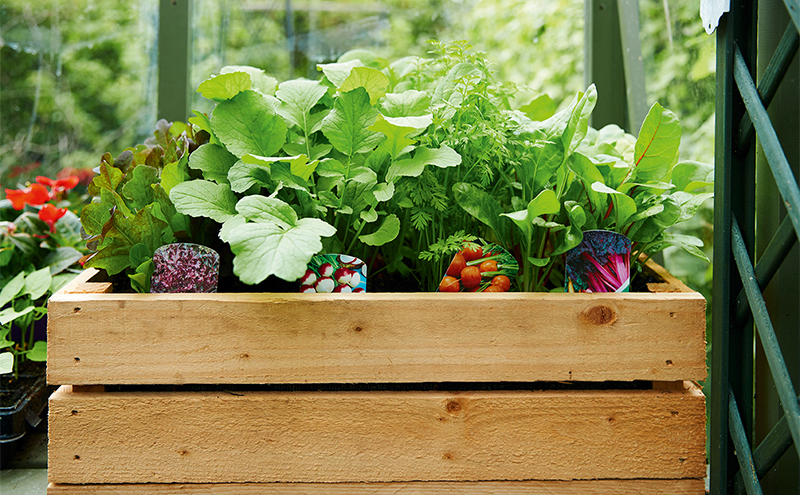 Wooden crate containing pots of healthy growing salad leaves