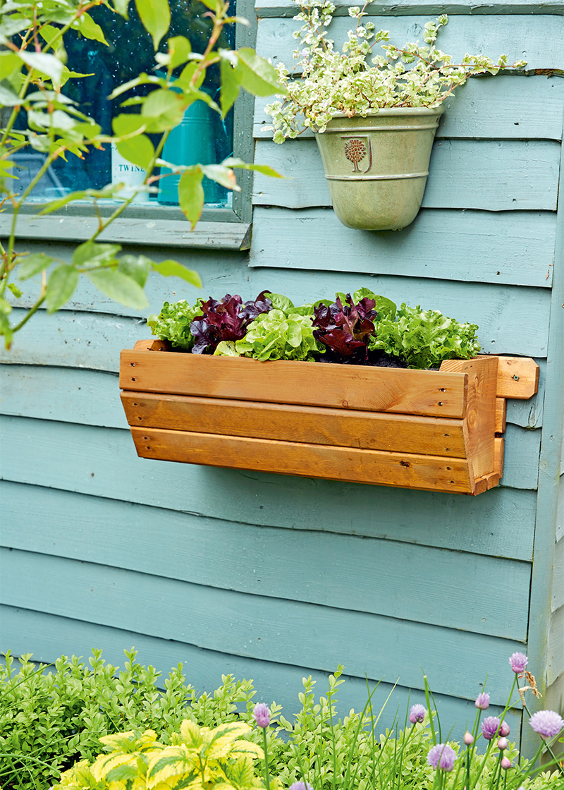 Wooden trough containing lettuce plants screwed to wall