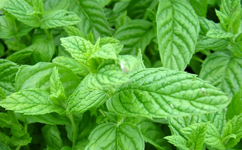 Close up shot of mint leaves