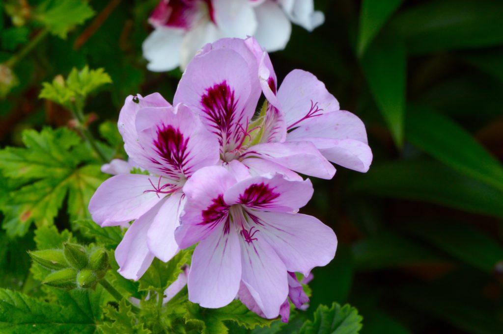 Pink Pelargonium Geranium