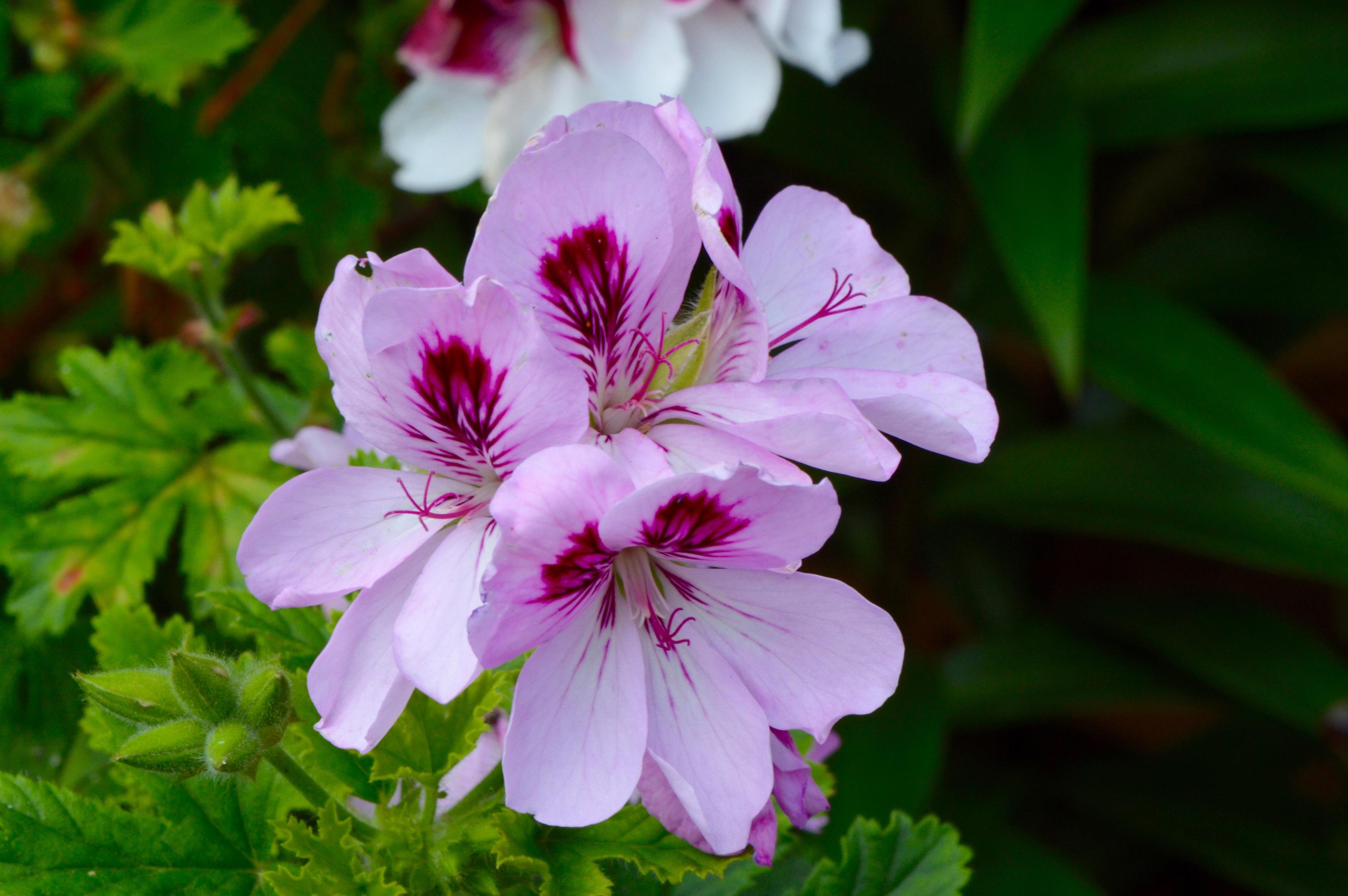 5 insider tips on flower arranging my weekly pink pelargonium geranium izmirmasajfo