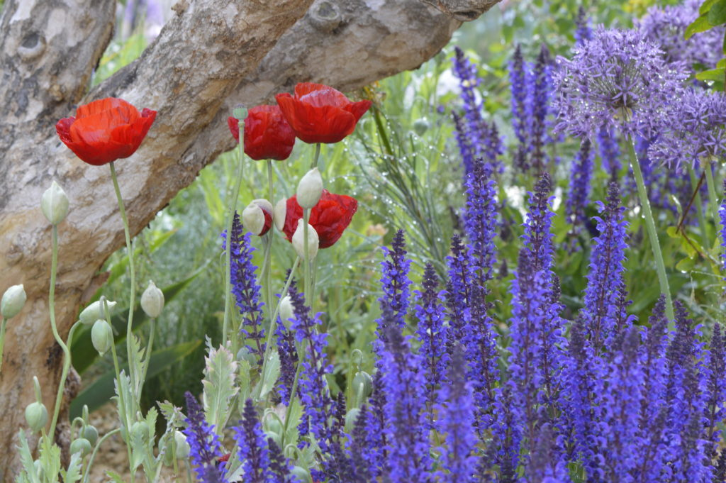 Poppies and salvias in the Lemon Tree Trust Garden