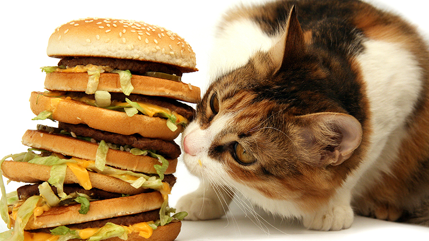 cat with burgers