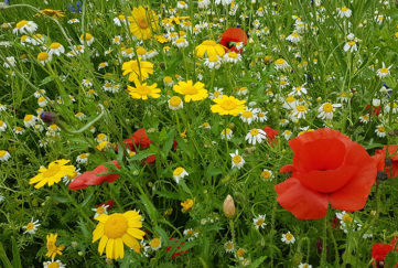 Annual meadow at Higham