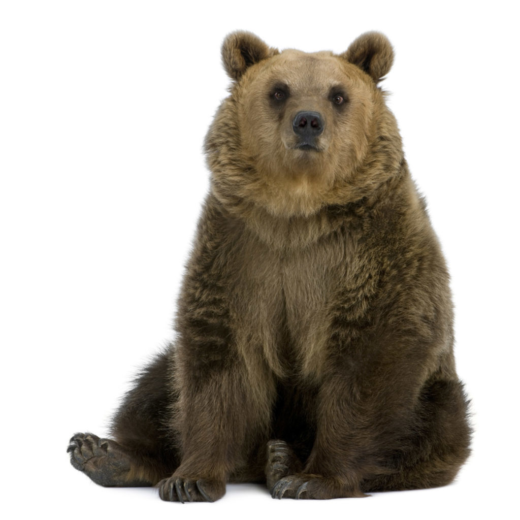 Brown bear on white background, sitting on haunches