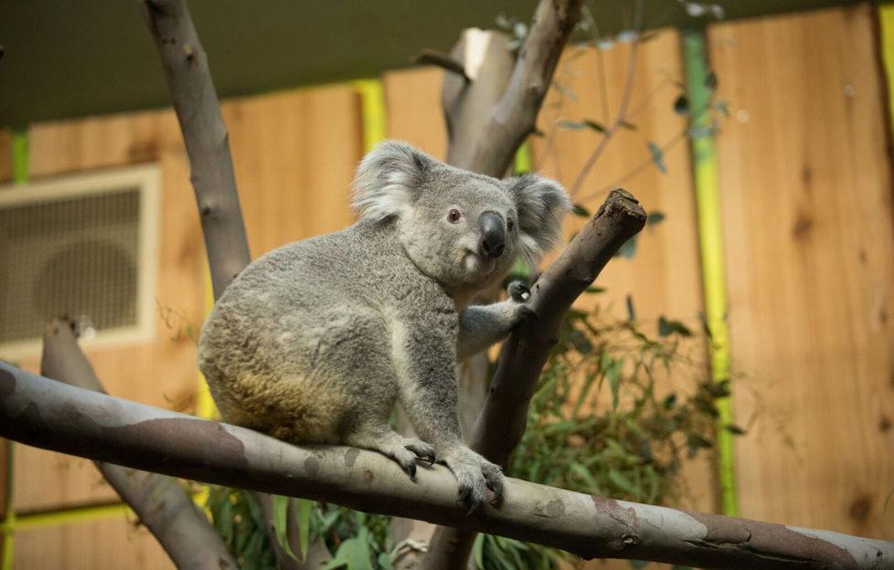 Tanami the Koala