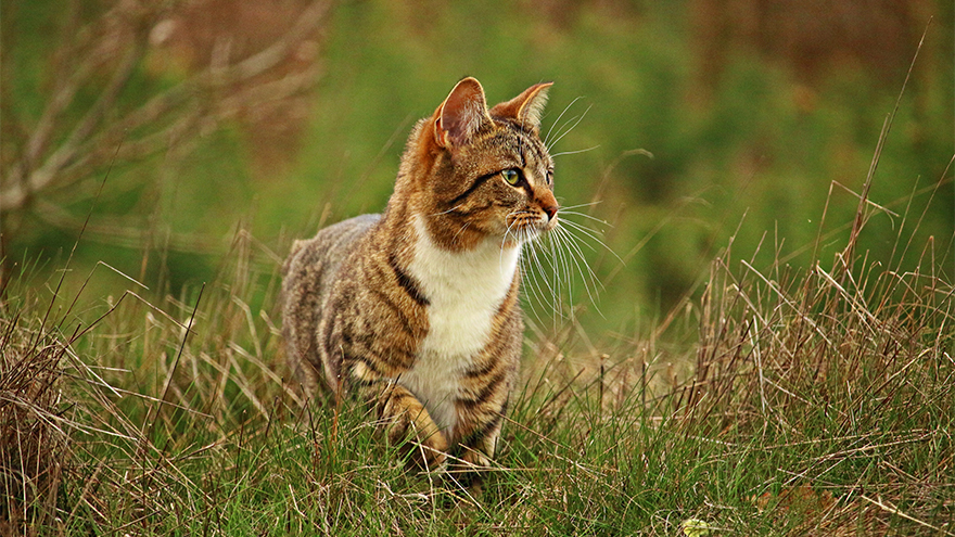Tabby and white cat looking alert in area of long grass