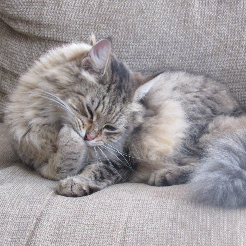 Long haired grey cat lying on sofa licking paws