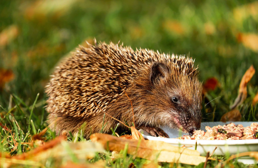 Hedgehog eating plate of food