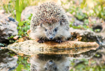The European hedgehog (Erinaceus europaeus: Linnaeus, 1758), also known as the West European hedgehog or common hedgehog,
