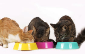 cats sitting at food bowl isolated on white