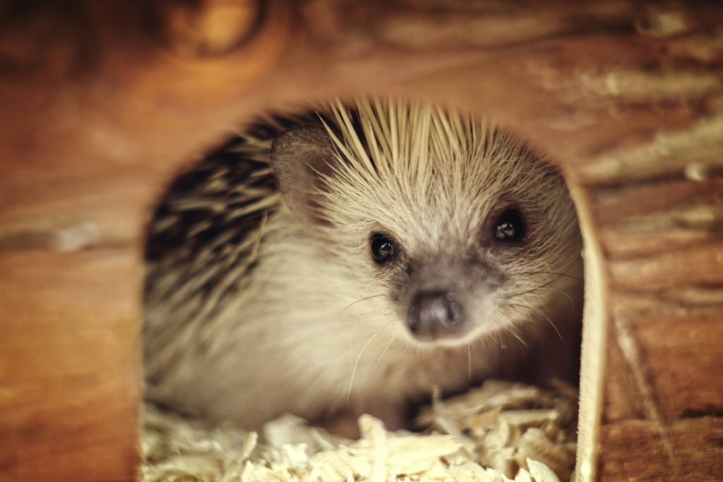 Cute hedgehog baby in wooden box