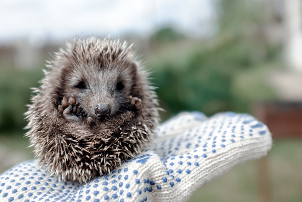 Little hedgehog in hands