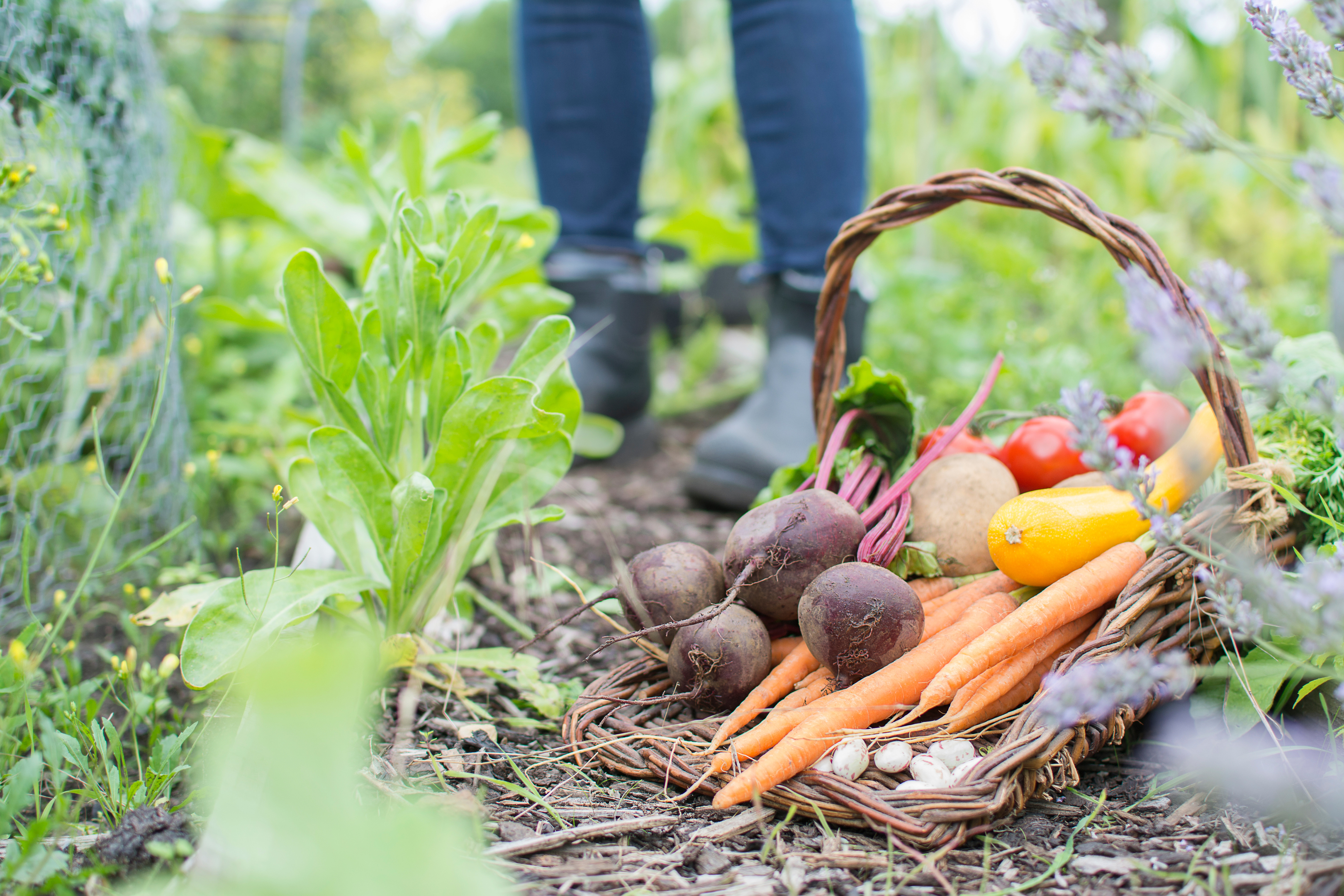 An assortment of freshly picked organic vegetables in a trug basket on an idyllic English allotment with person wearing boots in background.