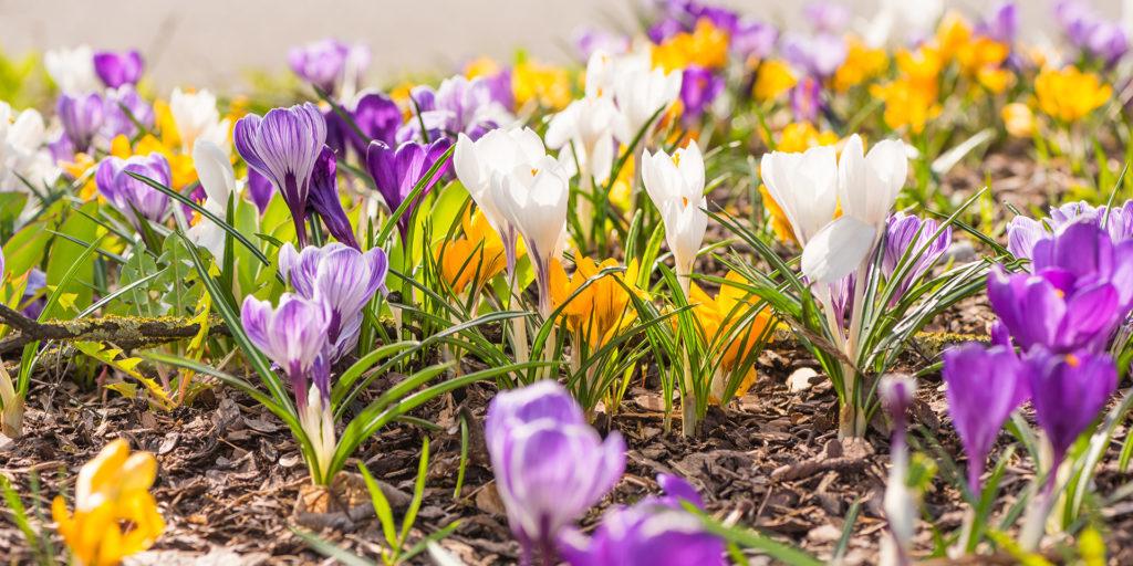 many crocuses in spring - flowering flowerbed