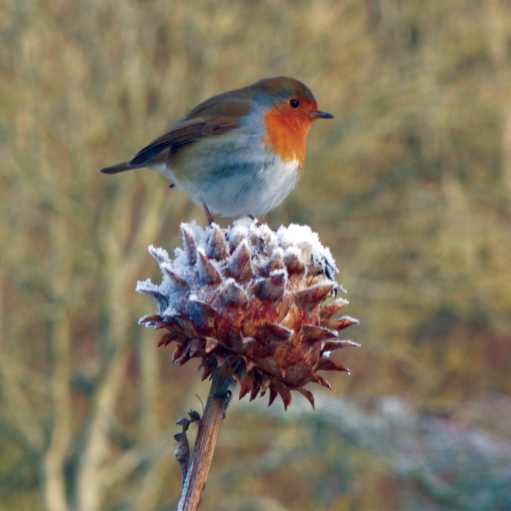 Robin perched on frosted seed head