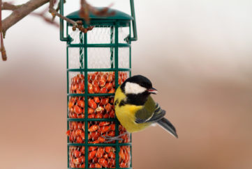 great tit hanging on peanut bird feeder