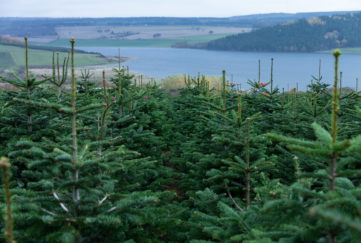 Scenic view of Christmas trees and loch
