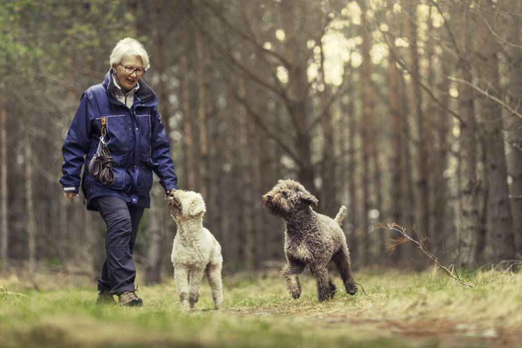 A woman out walking with two playful dogs (Lagotto romagnolo) in a spring forest.